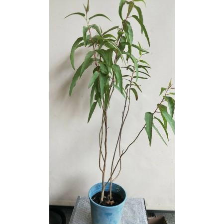 檸檬桉 香草植物
