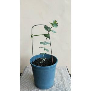 銀葉桉 香草植物