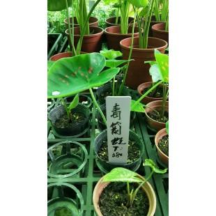 毒箭蛙彩葉芋
