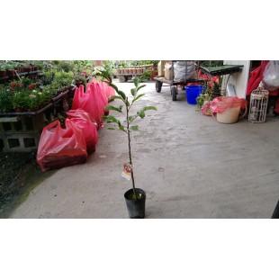 大紅袍板栗  果樹植栽
