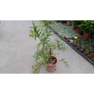 大果石榴 花卉盆栽