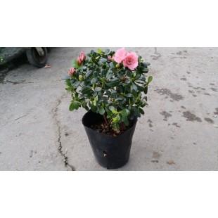 西洋杜鵑(粉紅花、寬徑30) 花卉盆栽