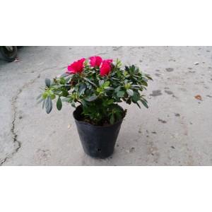 西洋杜鵑(紅花、寬徑20) 花卉盆栽