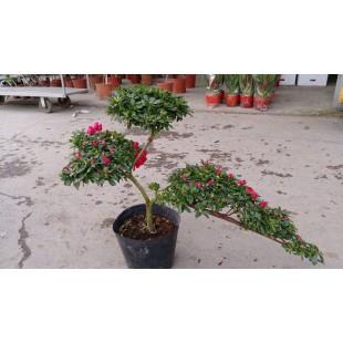 造型西洋杜鵑 花卉盆栽
