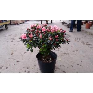 西洋杜鵑(粉紅花、寬徑40) 花卉盆栽