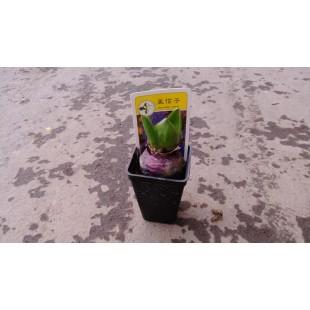 風信子 花卉盆栽