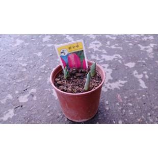鬱金香 花卉盆栽