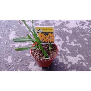 西洋水仙 花卉盆栽