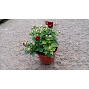 小菊 花卉盆栽