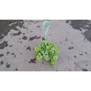 串錢藤 花卉盆栽