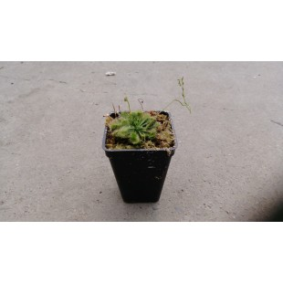 毛氈苔 花卉盆栽