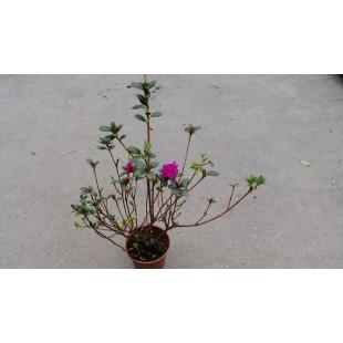 杜鵑  花卉盆栽