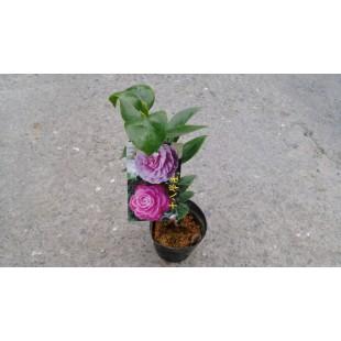 茶花 十八學士 花卉盆栽