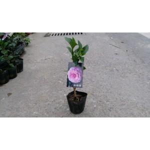 茶花 紫羅蘭 花卉盆栽