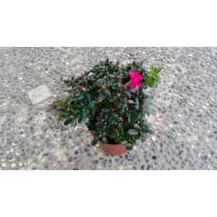 西洋杜鵑 花卉盆栽