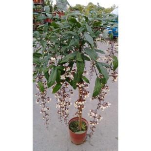 垂枝茉莉 花卉盆栽