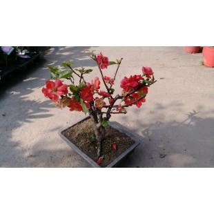 寒梅 花卉盆栽