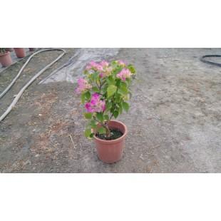 九重葛 花卉盆栽
