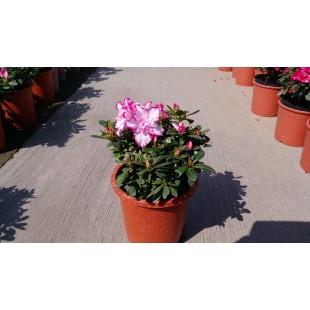 西瑪杜鵑 花卉盆栽