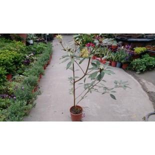 佛光樹 花卉盆栽