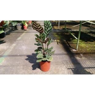孔雀竹芋 花卉盆栽