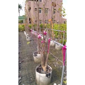 辛夷 花卉盆栽