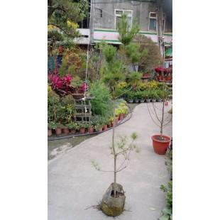 五葉松 花卉盆栽