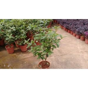 四季桂 花卉盆栽