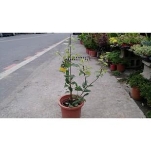 清華桂 花卉盆栽