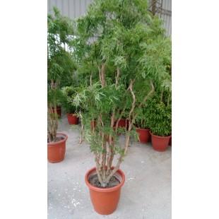 富貴樹 花卉盆栽