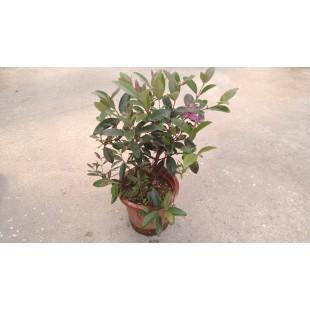紫雲杜鵑 花卉盆栽