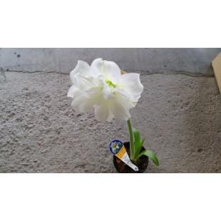重瓣白色平面孤挺花 孤挺花 花卉盆栽