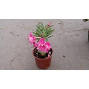 沙漠玫瑰(品種:山茶花)