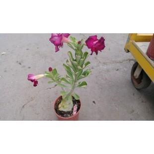 沙漠玫瑰(品種:紫丁香)