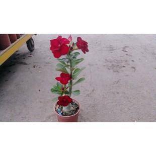 沙漠玫瑰(品種:火艷)