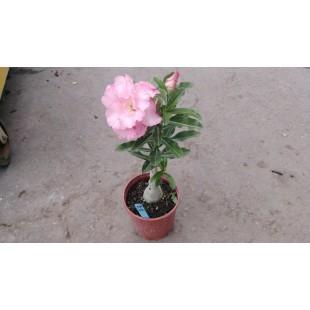沙漠玫瑰(品種:伊娃)