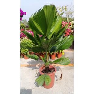 圓葉刺軸櫚 花卉盆栽