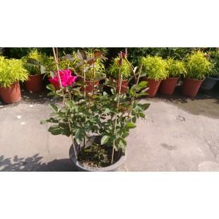 玫瑰(品種:日本櫻紅) 花卉盆栽