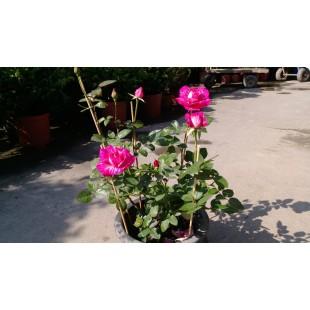 玫瑰(品種:奇蹟) 百元花草