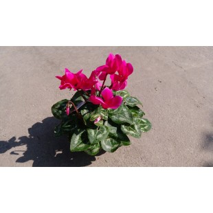 仙客來 花卉盆栽