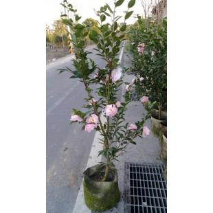 天香 花卉盆栽