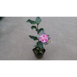 茶花(品種:雲觀) 花卉盆栽