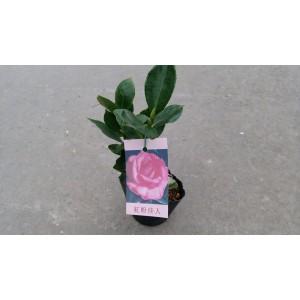 茶花(品種:紅粉佳人) 花卉盆栽