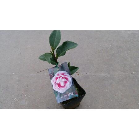 茶花(品種:馬可波羅) 花卉盆栽