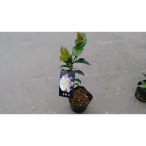 茶花(品種:甜香水) 花卉盆栽