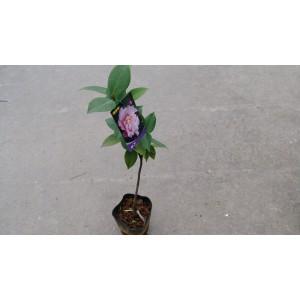 茶花(品種:天香) 花卉盆栽