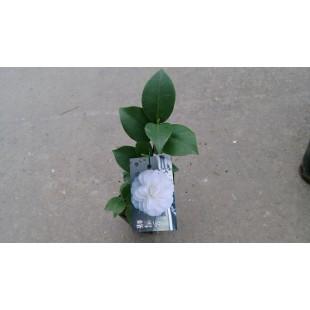 茶花(品種:冬雪峰) 花卉盆栽