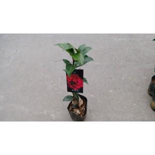 茶花(品種:伯拜范) 花卉盆栽