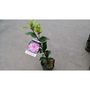 茶花(品種:伊莎安妮) 花卉盆栽