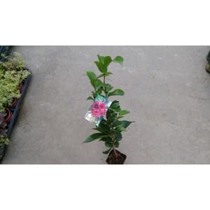 茶花(品種:雲斑大元帥) 花卉盆栽